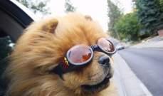 نظارات شمسية للكلاب فقط!