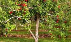 5 أنواع تفاح.. في شجرة واحدة