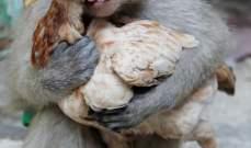 قرد يقع في غرام دجاجة من النظرة الأولى.. بالصور