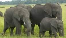 فيلة في حالة سكر شديدة في الصين.. بالصورة