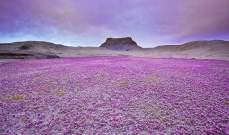 بالصور- زهور تظهر في الصحراء ثم تختفي !