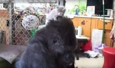 """الغوريلا """"كوكو"""" تتبنى هررة بعد عجزها عن الإنجاب..بالفيديو"""