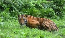 كمبوديا تبحث عن نمور لزجها في غاباتها