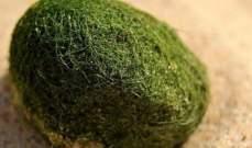 بالصور.. كرات خضراء غريبة على شواطئ سيدني
