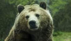 الدببة تنبش القبور بحثاً عن الطعام في روسيا