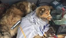 كلب يعرض نفسه للموت برداً وجوعاً لحماية صديقه المصاب