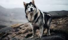 """ذئب """"صراع العروش"""" ينفق بعد إصابته بالمرض"""