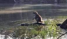 راكون يمتطي ظهر تمساح لعبور النهر