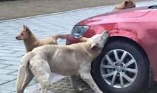 بالصور- كلاب تنتقم من رجل دهس رفيقهم بسيارته