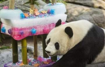 قالب حلوى طوله متر ونصف ووزنه نحو 100 كيلوغرام هدية لـ.. باندا