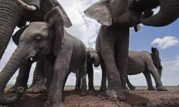 أخيراً.. قانون يفرض حماية الأفيال من خطر الإنقراض