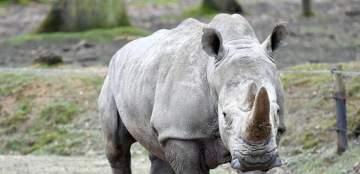 وحيد القرن يحطم سيارة تقودها إمرأة