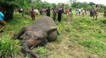 مجزرة في سريلانكا ذهب ضحيتها سبع فيلة واحدة منها حامل