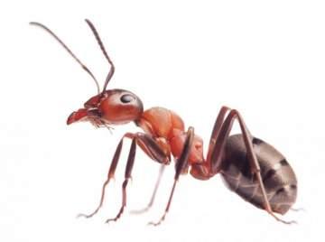 نملة تسرق ماسة وتكاد تنجو بفعلتها- بالفيديو