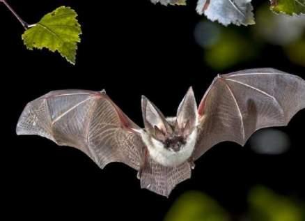 إكتشاف نوع جديد من الخفافيش!