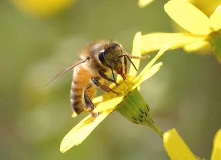 العثور على أقدم نحلة في التاريخ.. بالصورة