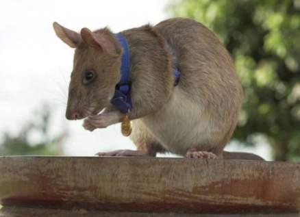 فأر يحصل على ميدالية ذهبية بعد إنجازه هذا العمل