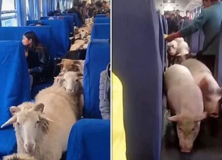 مشهد غريب في الصين.. قطيع من الأغنام يسير داخل أحد القطارات - بالفيديو
