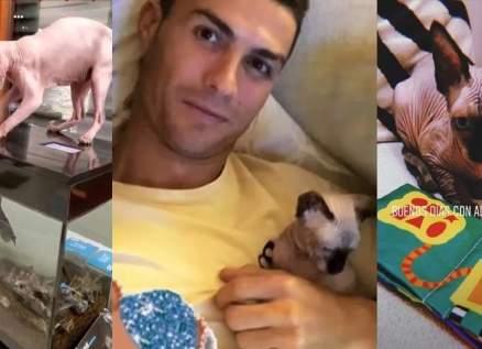 نقل قطة كريستيانو رونالدو للعلاج في إسبانيا بطائرة خاصة!