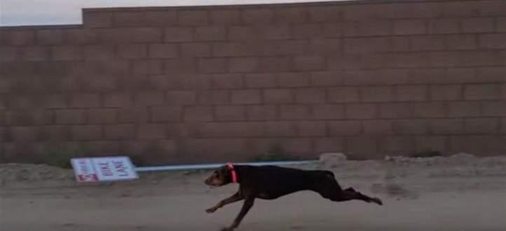 كلبة تسابق سيارة بسرعة 60 كم/ساعة! بالفيديو