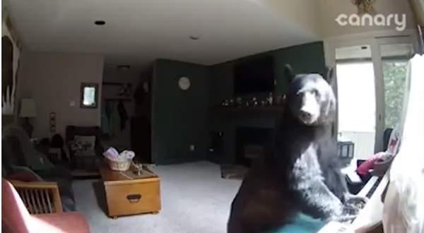 دب يعزف على البيانو..بالفيديو