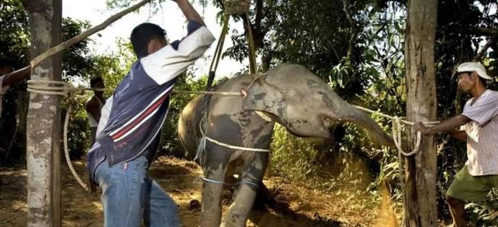 بالفيديو-الأفيال في تايلاند تتعرض للتعذيب بوحشية قبل تقديم المتعة للسيّاح