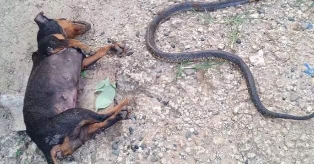 بالفيديو- كلب يضحي بحياته لإنقاذ طفلة من الكوبرا
