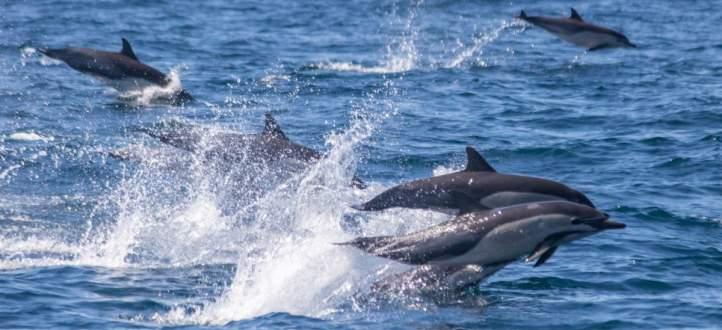 سباق بين مئات الدلافين يحبس الأنفاس! بالفيديو