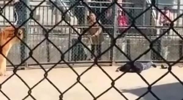 نمر غاضب يفترس حارسه.. بالفيديو