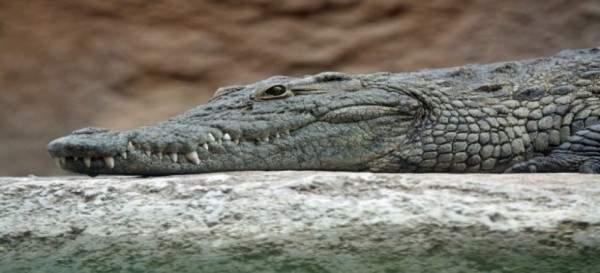 تمساح يمنع طائرة من الهبوط في فلوريدا- بالفيديو