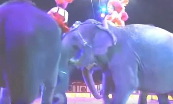 فيل يسقط على الجمهور في السيرك أثناء أدائه الإستعراضي.. بالفيديو