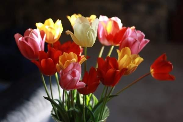 زهرة التوليب رمز الرومانسية والسحر والجمال.. تعرفوا على ميزاتها