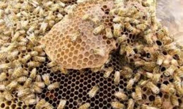 بالفيديو- رجل يأكل آلاف النحلات الحية
