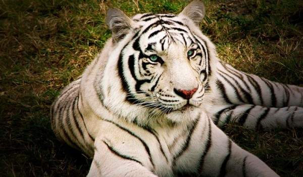 0ed28b4e5 النمر الأبيض ..حيوان نادر مهدد بالإنقراض