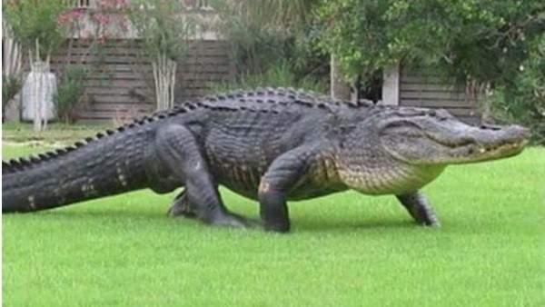 تمساح ثائر يلتهم طفلاً عمره 10 سنوات
