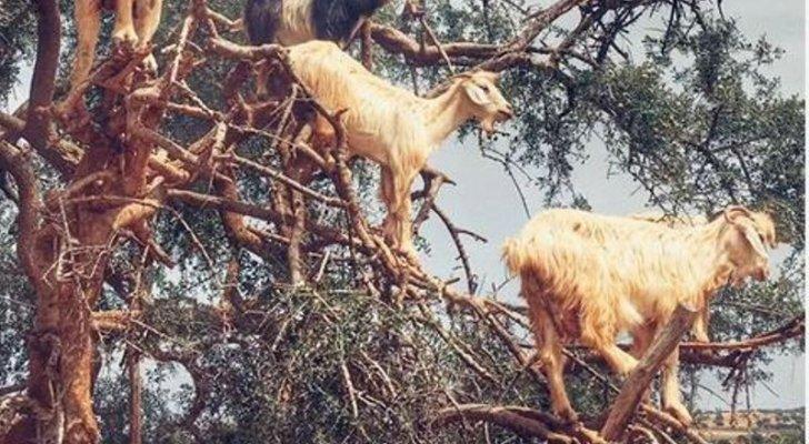 قطيع ماعز يقف على أغصان شجرة كالعصافير!-بالفيديو