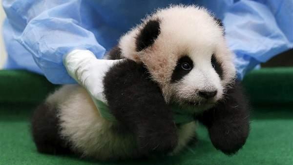 """جراحة عاجلة لـ""""باندا"""" من حديقة حيوان سميثسونيان في واشنطن"""