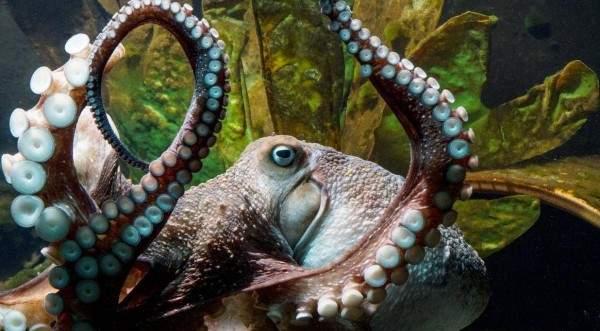 اكتشاف أخطبوط شفاف يظهر أعضاءه الدخلية في عمق المحيط الهادئ!-بالفيديو
