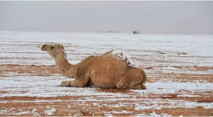 الثلوج تغطي ظهور الجمال في تبوك.. مشاهد نادرة في السعودية - بالفيديو