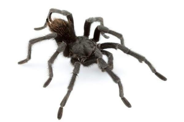 عنكبوت صياد عملاق يثير الدهشة بإلتهامه حيوانا بحجم الجرذ- بالصورة