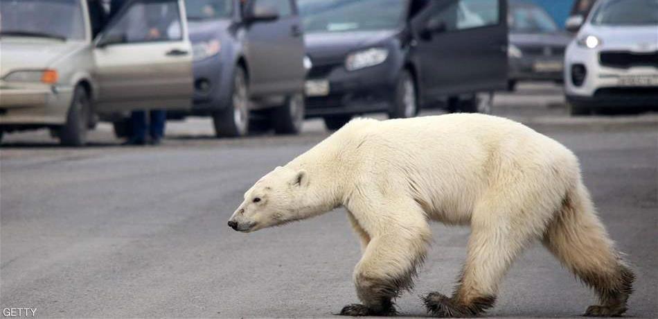 دبة قطبية تضلّ طريقها وتتجوّل داخل مدينة روسية