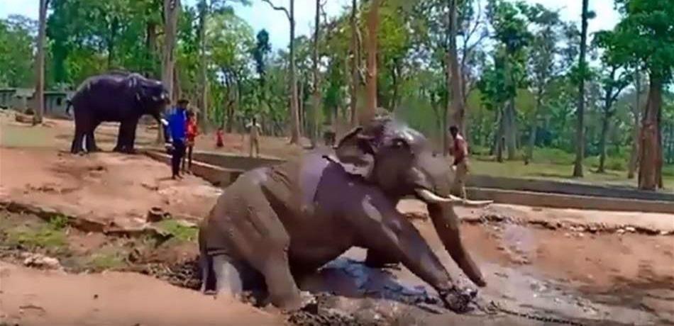 نفوق فيل حاول تحرير نفسه من الأسر! بالفيديو