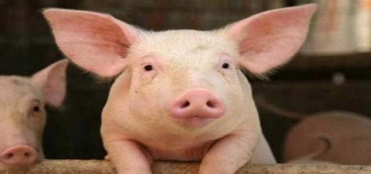 هل يستطيع الطب أن يضع قلب خنزير بديلاً لقلب الإنسان؟